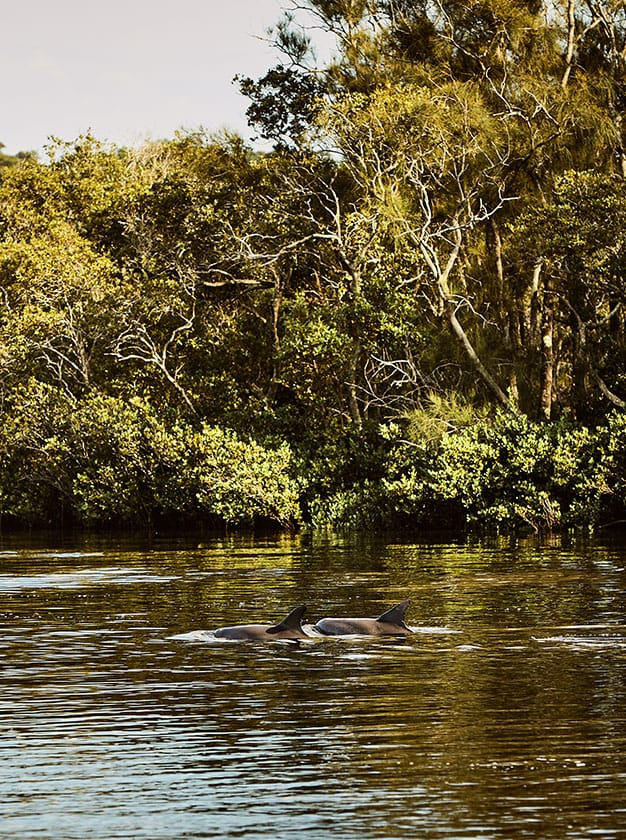 Gallery-Portrait-dolphins-in-myall-river