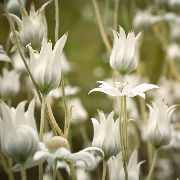 MRC_Gallery-Square-Flannel-flowers